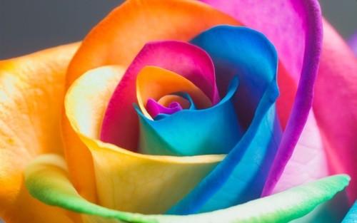 Colorful-rose-petals_2560x1600_large.jpg
